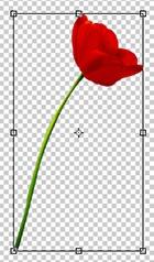 Aperçu de la rotation de la tulipe